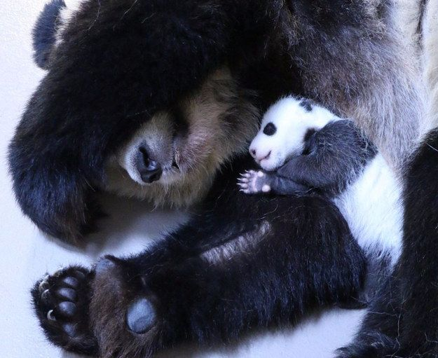 The cubs are on a rotating schedule with mom Er Shun, with one hanging out with her at a time. | The Toronto Zoo's Baby Pandas Look Like Pandas Now
