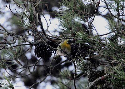 Birding Cascais: Lugre / Eurasian Siskin (Carduelis spinus) no Parq...