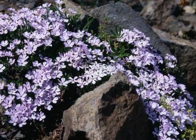 """Creeping Phlox"" - The area UNDER PINE TREEs is dry, dark and allelopathic, which means that the soil is inhospitable to most plants..."