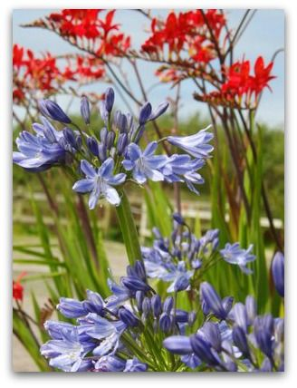 Agapanthus or African Lilies are great seaside plants!  http://www.seaside-gardening-tips.com/growing-agapanthus.html
