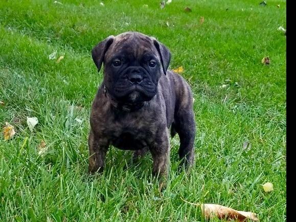 Stoltz Bullmastiffs Has Bullmastiff Puppies For Sale In Mifflinburg Pa On Akc Puppyfinder Bullmastiff Puppies For Sale Puppies For Sale Bull Mastiff