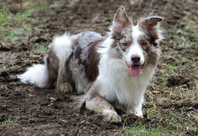 Brindle Merle Australianshepherdtricolor Australian Shepherd Shetland Sheepdog Sheep Dog Puppy