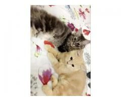 Persian Cats Male and Female for sale in good hands