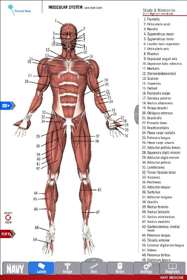 Best 111 Anatomía images on Pinterest   Bocetos, Dibujos de y ...