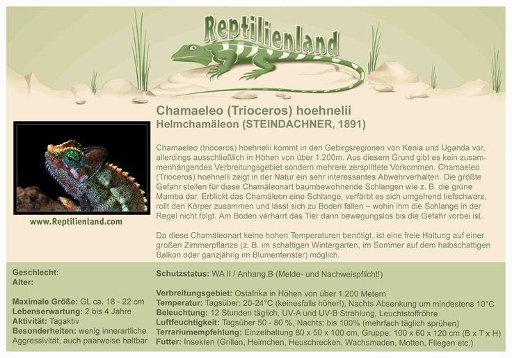 Helmchamäleon - kompakte Übersicht der Haltungsbedingungen. Unsere Karteikarten können auch zum Beschriften von Terrarien verwendet werden. Ausführliche Haltungsinformationen zur Haltung von Chamäleons gibt es auf www.reptilienland.com