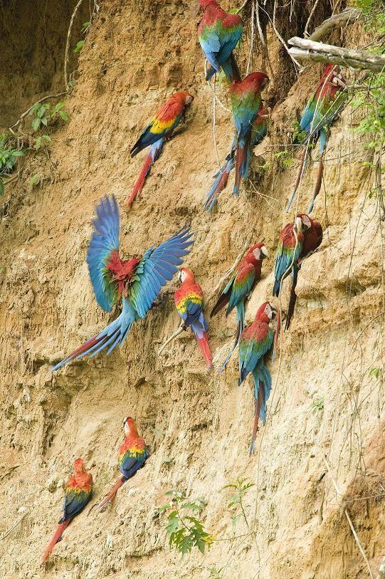 conservation of amazon rainforest   Peru. Amazon Rainforest Conservation Explorer [Currently Not Active]