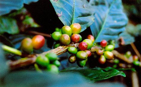 Shade-Grown Coffee Protects Tree Biodiversity : TreeHugger