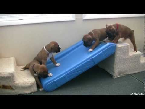 If you're having a bad day, these 4 week old boxer puppies will certainly turn it around!