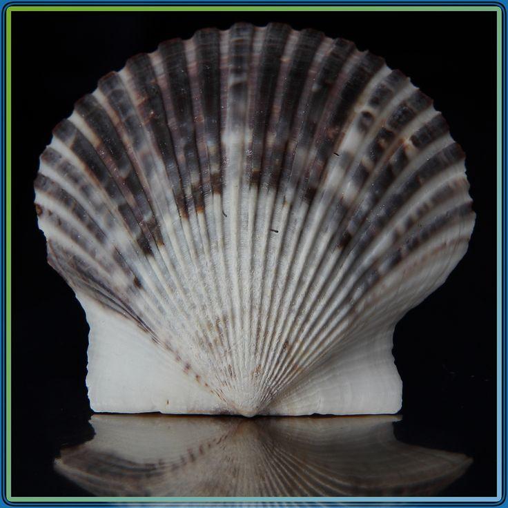 https://flic.kr/p/bmF14C   Scallops on the half shell   Atlantic Bay Scallop