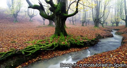 Moss forest in Spain.