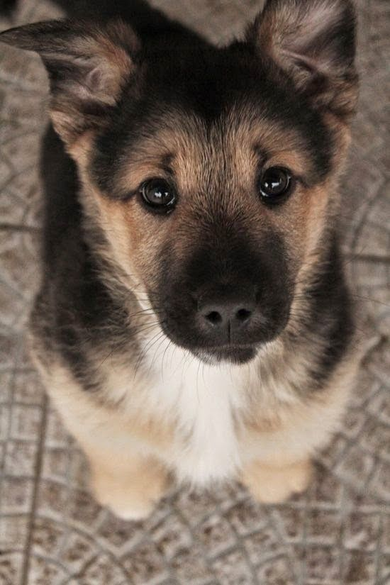 German Shepherd puppy Kim waiting for her treat