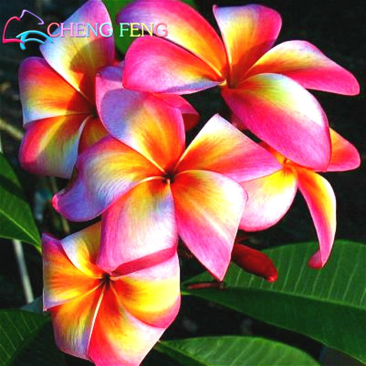 Cheap flower seeds for sale, Buy Quality flower mulch directly from China seed paddy Suppliers: 50 Pcs A Bag Plumeria Seeds Rare Flower In Bonsai Egg Flowers Seed New Sementes Home Garden Plants China Gift Rare-flower-seeds