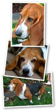 How to care for Basset Hound ears