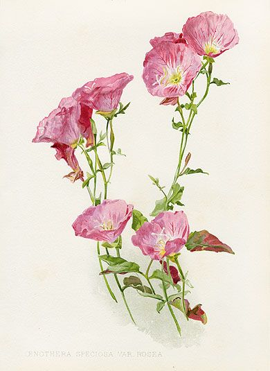 Pink Petticoats Evening Primrose, Oenothera speciosa 'Rosea.' Pink flowers with yellow centers all summer (1903).