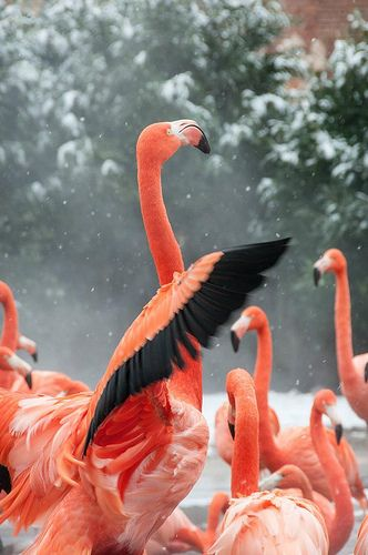 A flamingo fighting the winter snow. Visit the National Zoo and have a hot buffet breakfast each morning with our Panda Package! For more information on this special, visit http://inndc/com/specials.php