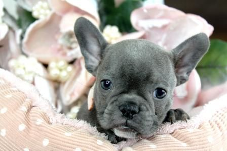 Miniature French Bulldog Puppies For Sale We Ship Very Safe Easy Financing Available Visi With Images Bulldog Puppies For Sale Bulldog Puppies French Bulldog Puppies