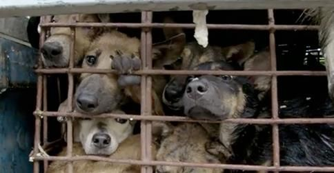 Unreported World: Vietnam's Dog Snatchers, being broadcast on Channel 4 at 7.30pm UK time, tonight, Friday, October 3rd.  Please watch and ask everyone you know to do so too!  Thank you.  http://www.mirror.co.uk/news/uk-news/dogs-kept-cramped-cages-slaughtered-4369456
