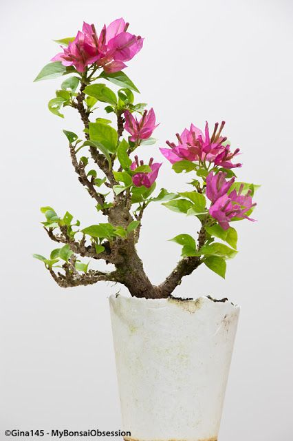 My Bonsai Obsession: One little Bougainvillea - three options