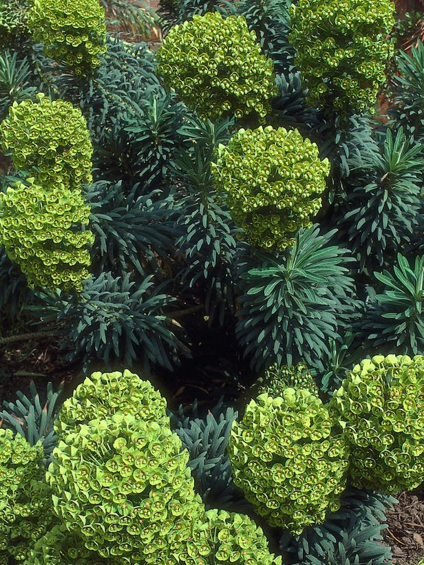Euphorbia Evergreen Shrub Yields Green Flowers