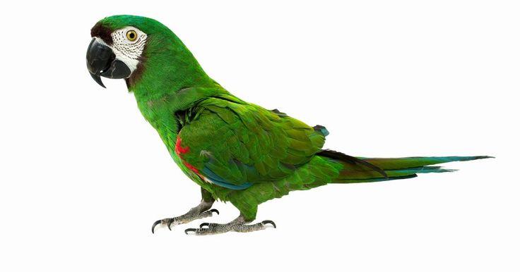Como fazer os papagaios pararem de gritar