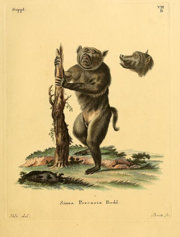 This southern Chacma Baboon (Papio ursinus) finds our #PageFrights content quite terrifying! Johann Christian Daniel Schreber, Die Saugthiere in Abbildungen nach der Natur, Plates 1-80 (c1774). Biodiversity Heritage Library: http://biodiversitylibrary.org/page/31059886 #Halloween