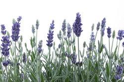 #Lavendel im #Herbst zurückschneiden - so geht´s