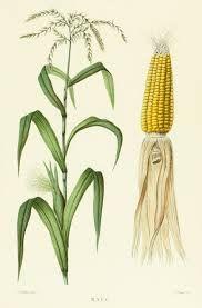 Image result for antique botanical