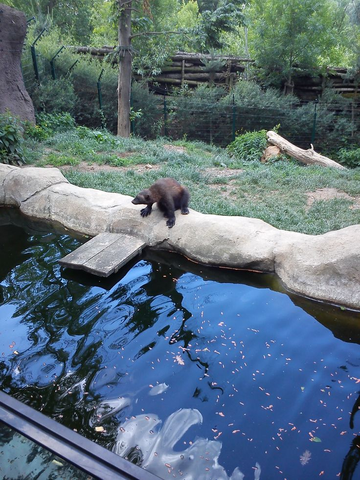 wolverine, taken in ZOO Brno, Czech Republic #ditushfabianski