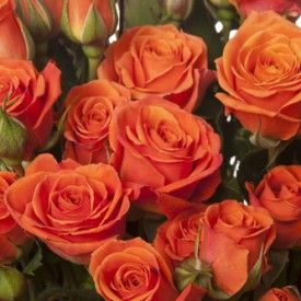 Orange Garden Rose 46 best orange flowers images on pinterest | orange roses, orange
