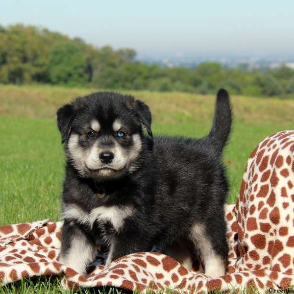 Goberian Puppies For Sale Goberian Dog Breed Info Greenfield Puppies In 2020 Unique Dog Breeds Dog Breed Info Greenfield Puppies