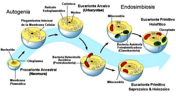 11.- Otros organismos llevaron una evolución diferente. La imagen muestra el proceso descrito en la teoría endosimbiótica, según el cual las actuales células eucariotas (Las nuestras) derivan de células procariotas que entraron dentro de otras células y establecieron relación de simbiosis.