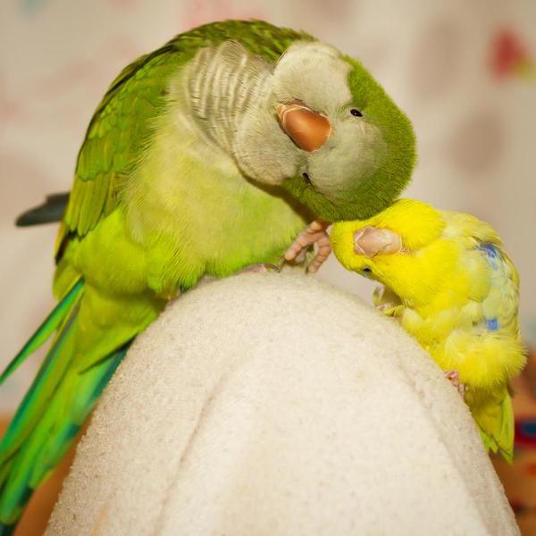 Omgosh tooooo cute!  Quaker parrot, sometimes called Monk parakeets, and a yellow parakeet.