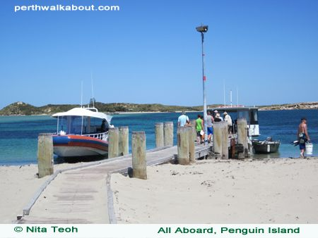 penguin-island-1. Day trip from Perth