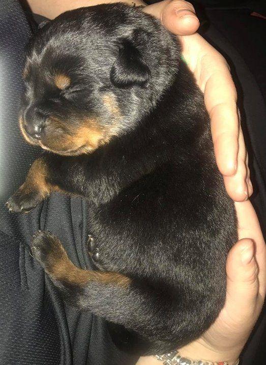 Rottweiler puppy ~ 10 days old