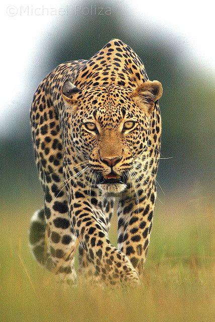 Stalk | Stalking Leopard, near Vumbura, Okavango Delta, Botswana by Michael Poliza)