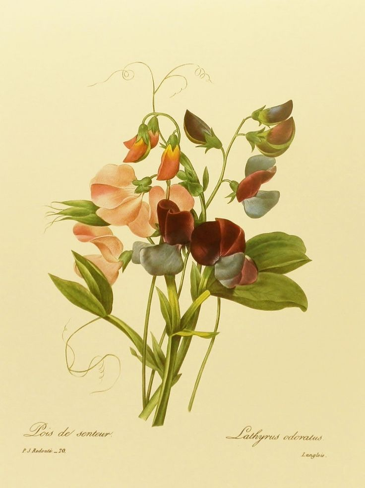 Sweet Pea Redoute Flower Print, Vintage Botanical Illustration 9 x 12 Book Plate No. 70