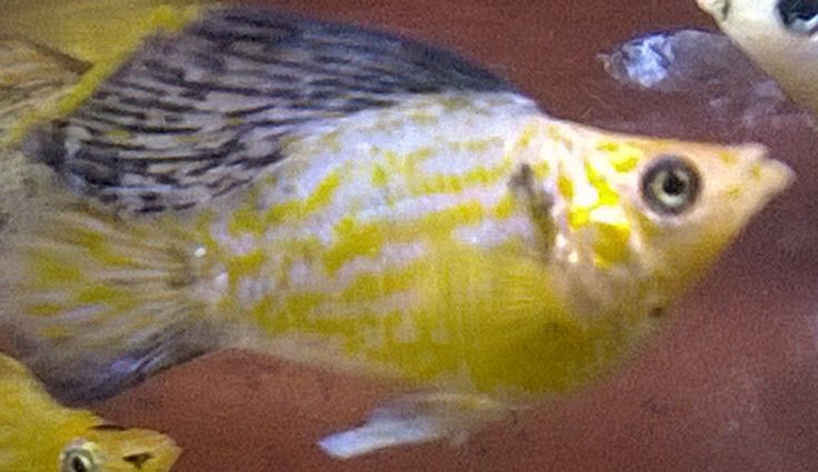 17 best images about aquariums mollies swordtails on for Molly fish for sale