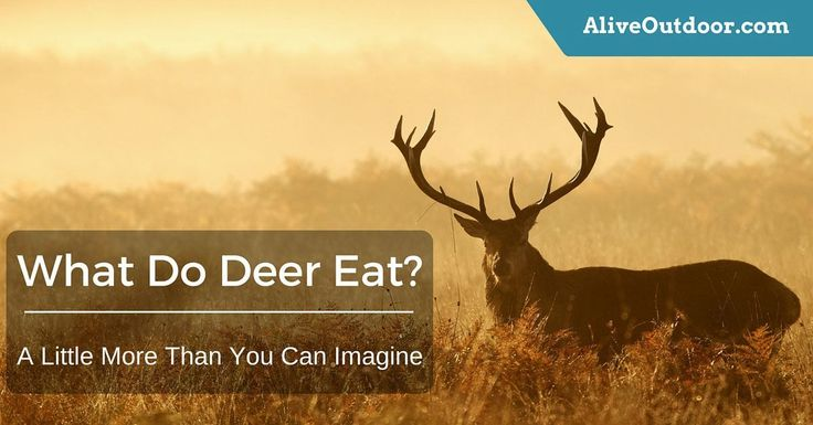 "Beneath, I will go deeper and answer the question ""what do deer eat?"" as we shall find out like us, that they too have preferences."