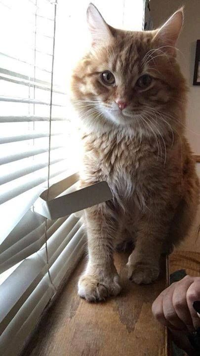 Best 25+ Polydactyl cat ideas on Pinterest | Paws rescue ...  Best 25+ Polyda...