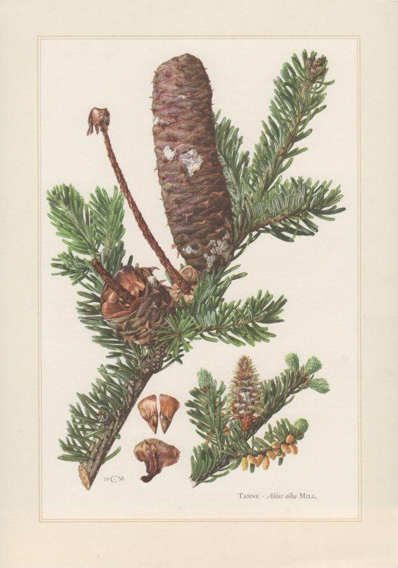 1960 Vintage Botanical Print Abies alba European Silver Fir