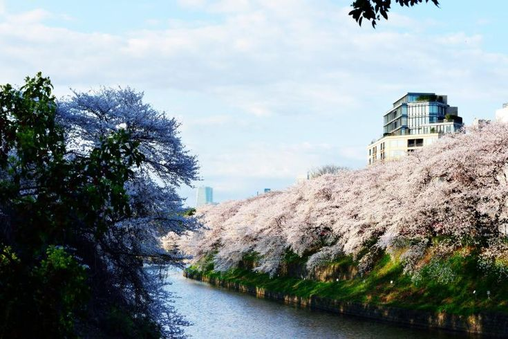 [ 千鳥ヶ淵の桜 ]    都内有数のお花見スポット TOKYO