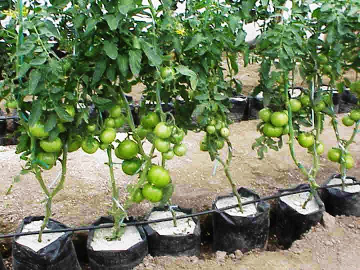 Kebun Tomat Hidroponik