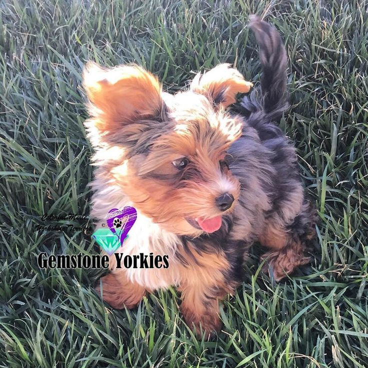 Parti yorkie puppies for sale california