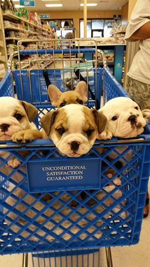 Bulldog puppies catching a ride!