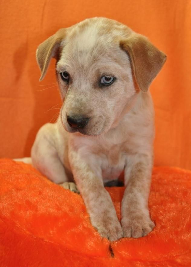 Lulu aka Lucy (puppy) Cattle Dog & Australian Shepherd Mix Loving Paws Adoption Center Crocker, MO