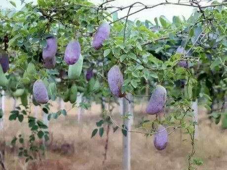 Many fruits come to the market in autumn. But this season, besides oranges and kakis, a very special fruit with the shape and colour of an aubergine, will be on sale at around 50 Yuan per.....