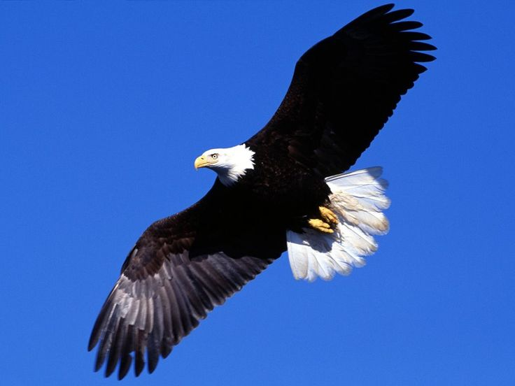 Lição de vida A Águia é uma ave de vida longa, aproximadamente 70 anos. Porém aos 40 anos...
