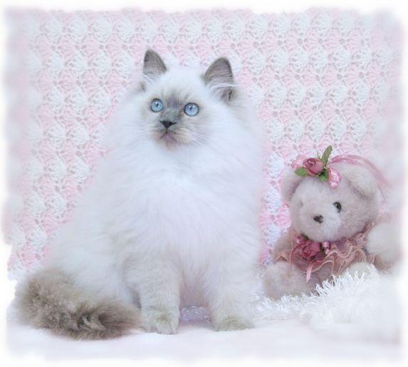 Ragdoll Cats Ragdoll Kittens For Sale Ragdoll Breeder Ragdoll