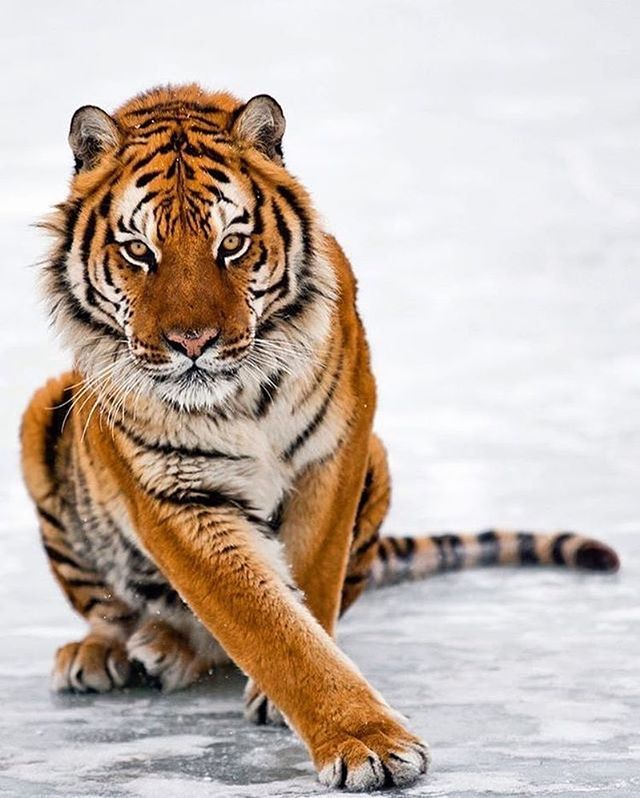 """""""How 'bout the his pose?"""" Amur Tiger   Photo by @suhaderbent"""