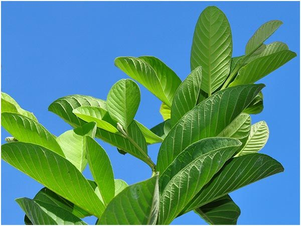 17 Best Benefits And Uses Of Guava Leaves For Skin, Hair And Health | StyleCraze